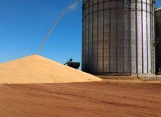 Grãos estão sendo jogados no chão por falta de silos para armazenagem - Divulgação