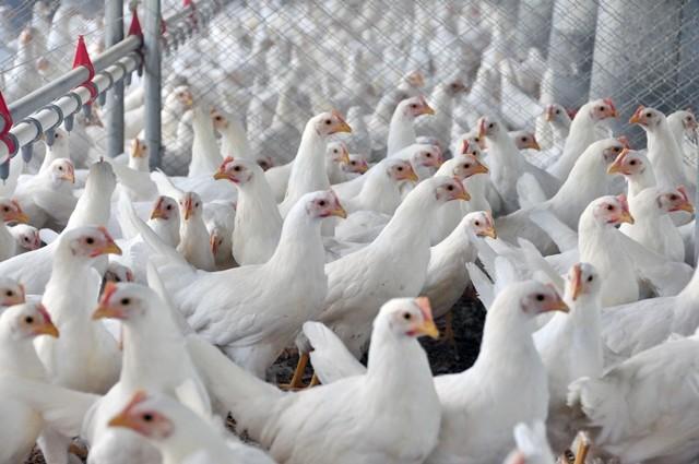 Rações com enzimas permitiram aumentar o rendimento e melhoras a saúde dos animais - Foto: Lucas Cardoso