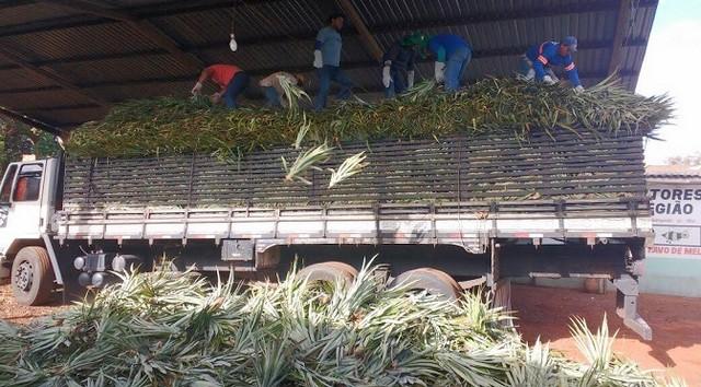Foram distribuídas 20 mil mudas de abacaxi, tipo pérola e havaí, para 28 famílias agrícolas de Fátima do Sul – Assessoria Agraer