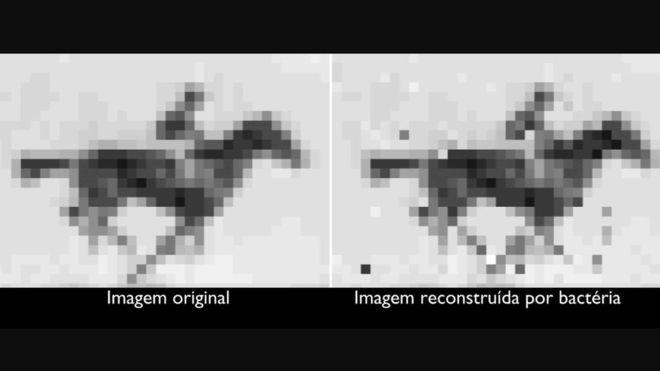 Cientistas americanos inseriram um gif - cinco quadros de um cavalo correndo - no DNA de uma bactéria - NIH/NATIONAL INSTITUTE OF MENTAL HEALTH