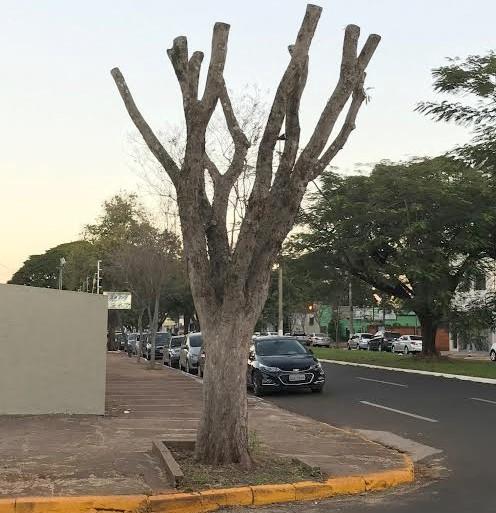 A poda que excede 50% da copa das árvores é considerada crime ambiental e o Imam recomenda atenção dos cidadãos - Foto: Divulgação/Imam