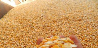 No leilão promovido pela Conab nesta quinta-feira (10), o estado comercializou 30 mil toneladas do grão na modalidade PEP – Divulgação Aprosoja/MS