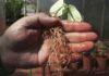 Raiz de soja com sintoma causado por nematoide – Foto: Dulce Mazer