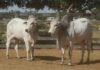 Animais do Núcleo de Seleção da Fazenda Nhumirim – Foto: Ériklis Nogueira
