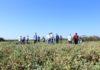 Embrapa Agropecuária Oeste é a responsável pelas pesquisas desenvolvidas com o grão-de-bico e também com o cultivo da lentilha - Foto: Christiane Comas
