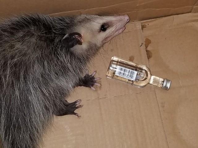 Animal estava ao lado de uma garrafa de bourbon, que teria sido a responsável por sua embriaguez - Foto: Reprodução/Facebook Emerald Coast Wildlife Refuge